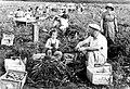 PikiWiki Israel 1219 Kibutz Gan-Shmuel ks14- 3 גן-שמואל-בגן הירק 1940-2.JPG