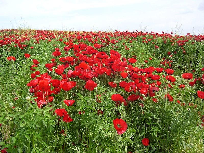שדה פרגים ליד תל נגילה