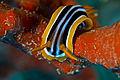 PikiWiki Israel 37509 Nudibranch on sponge.jpg