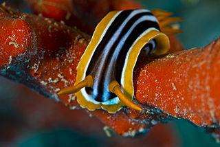 <i>Chromodoris quadricolor</i> colorful sea slug