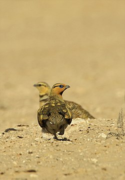 Pin-tailed sandgrouse.jpg