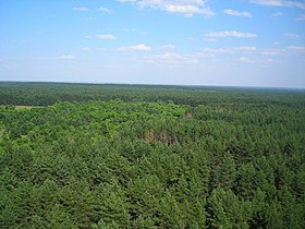 Pine Forest in Archedino-Don sands.jpg