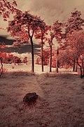 Pine trees - panoramio.jpg
