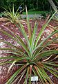Pineapple (Ananas comosus) 2.jpg