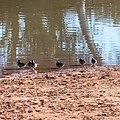 Pink-eared duck Burke River Boulia Queensland P1030175.jpg