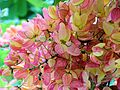 Pink and Yellow shower tree on Maui, Sue Salisbury Hawaii - panoramio.jpg