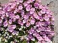 Pink petunia, 2017 Nyírbátor.jpg