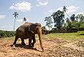 Pinnawala Elephant Orphanage - panoramio (2).jpg