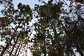 Pinus elliottii MarcusQ.jpg