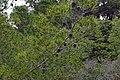 Pinus halepensis, Réserve naturelle régionale de Sainte Lucie 04.jpg