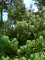 Pinus pseudostrobus var apulcensis 1.jpg