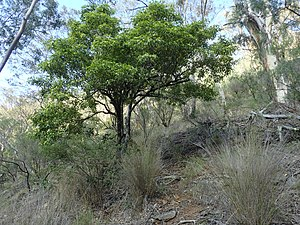 Pittosporum undulatum - Image: Pittosporum undulatum (habit)