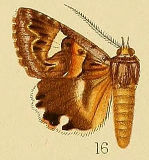 <i>Cerocala</i> Genus of moths