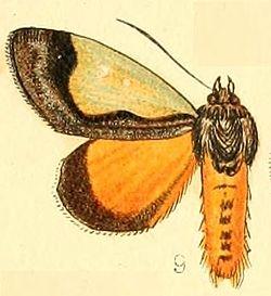 Pl.54-09-Tuerta chrysochlora Walker, 1869.JPG