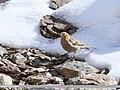 Plain Mountain Finch (Leucosticte nemoricola) (24360198478).jpg