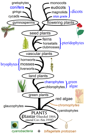 Evolutionary history of plants wikipedia monophyletic groups are in black and paraphyletics in blue diagram according to symbiogenetic origin of plant cells and phylogeny of algae ccuart Choice Image