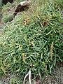 Plantago maritima plant (13).jpg