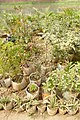 Plants in Banani 02.jpg