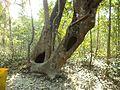 Plants in Sundarbans.jpg