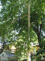 Platanus x acerifolia 02 by Line1.jpg