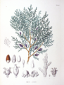 Platycladus orientalis SZ118.png
