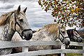 Pleasant Hill Percherons.jpg
