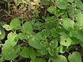 Plectranthus mollis (6256113681).jpg