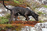 """A dark colored mottled dog faces right while sniffing the ground."""