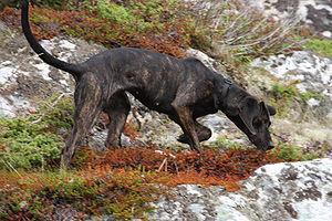 Plott Hound - Image: Plotthund Kynnagardens Ziggy Lundamo