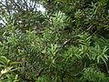 Podocarpus cunninghamii 11.JPG