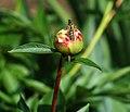 Polistes dominula (European paper wasp) on Paeonia sp. (peony) (Newark, Ohio, USA) (49045167011).jpg