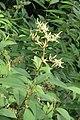 Polygonum molle - Sikkim Knotweed - at Ooty 2014 (3).jpg