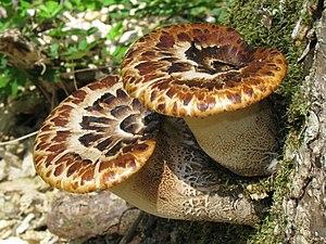 Cerioporus squamosus - Image: Polyporus squamosus Molter