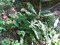 Polystichum acrostichoides 2zz.jpg