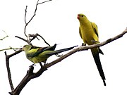 Two yellow parrots with black tails, wing edges, and backs