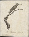 Polytmus gramineus - 1802 - Print - Iconographia Zoologica - Special Collections University of Amsterdam - UBA01 IZ19100053.tif