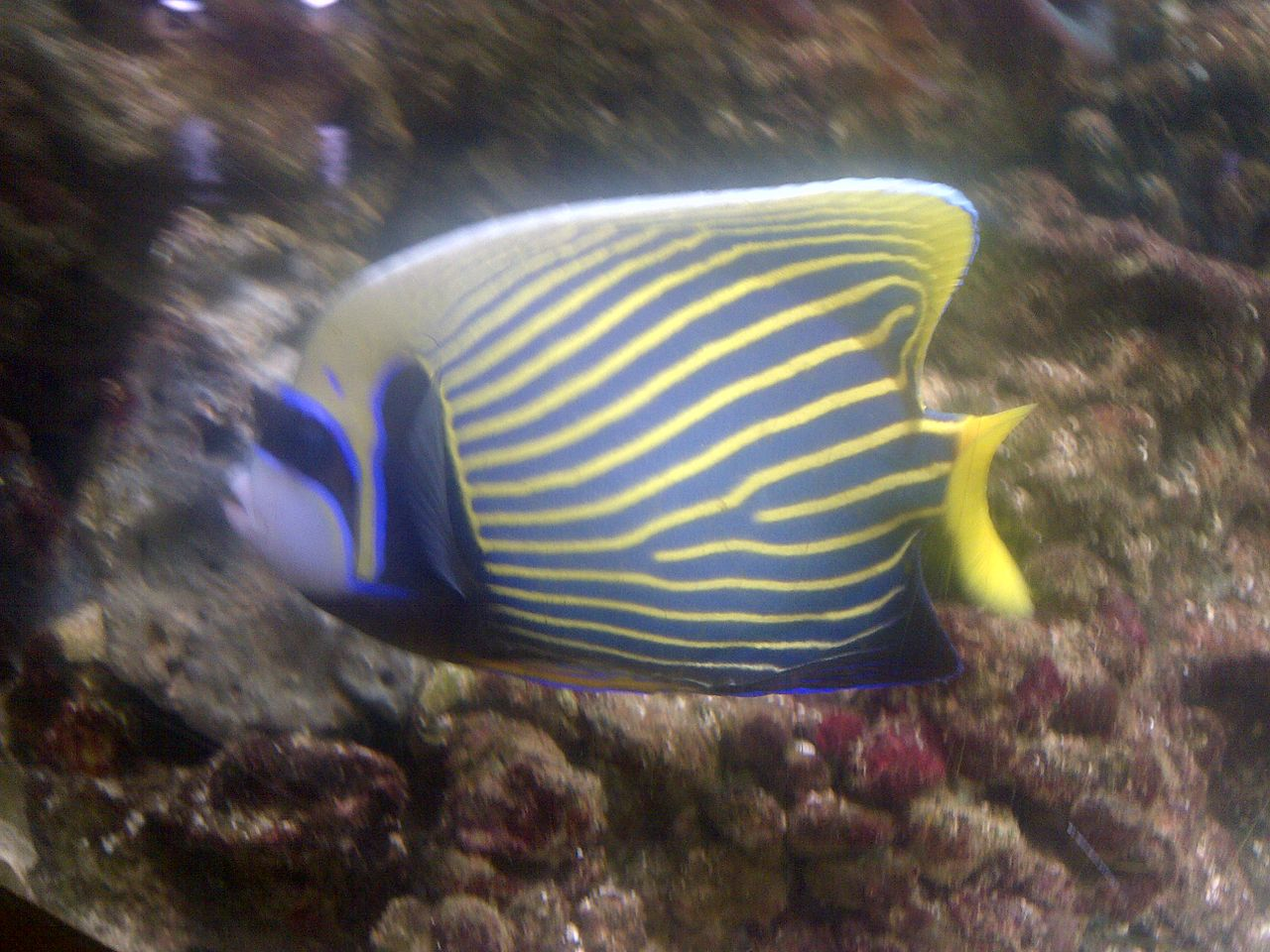 emperor angelfish changing - photo #5