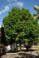 Pomarroso - Pero de agua (Syzygium malaccense) (14405250171).jpg