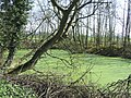 Pond covered with Duckweed, near Westcroft, Staffordshire - geograph.org.uk - 391877.jpg