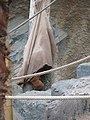 Pongo pygmaeus abeli - Hamburg, Tierpark Hagenbeck - 5.jpg