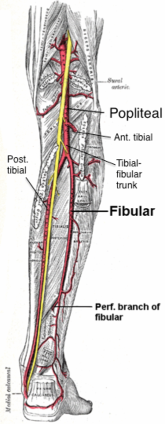 Posterior tibial artery - Image: Popliteal branches from posterior labeled