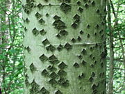 White Poplar trunk, showing the characteristic diamond-shaped marks