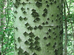 Populus alba - Trunk, showing the characteristic diamond-shaped marks