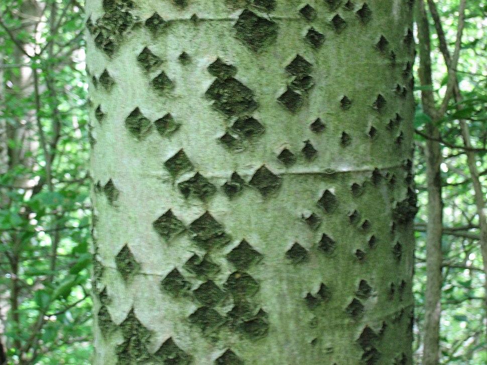 Populus alba trunk