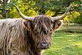 Porträtt av skotsk höglandsboskap.jpg