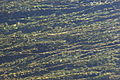 Potamogeton perfoliatus Dordogne.jpg