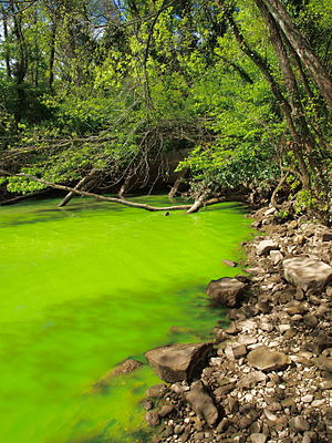 Eutrophication - The eutrophication of the Potomac River is evident from the bright green water, caused by a dense bloom of cyanobacteria.