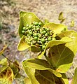 Premna serratifolia Anse Aly Rodrigues 1.jpg