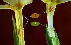 Adnation - The stamens of Primula vulgaris are adnate to the corolla