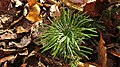 Prince William Forest Park - November Walk - Diphasiastrum digitatum (Fan clubmoss) (10661934706).jpg